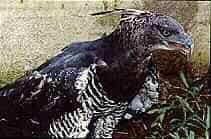 Aguila crestada