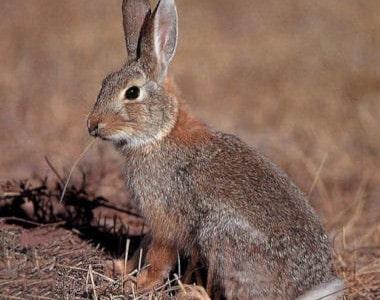 Conejo Coliblanco