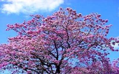 Árboles ornamentales